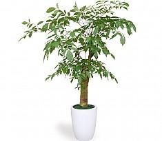 웰빙식물 (행복나무)
